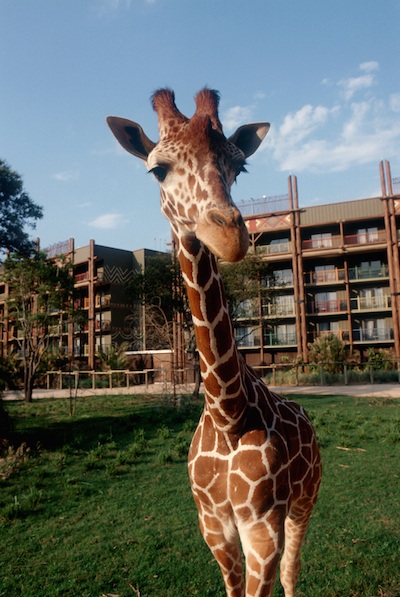 Disney's Animal Kingdom Lodge Giraffe image